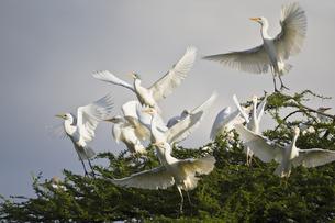Africa, Botswana, Cattle Egret in central kalahari game reseの写真素材 [FYI04340086]