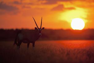 Africa, Botswana, Gemsbok in central kalahari game reserve aの写真素材 [FYI04340089]