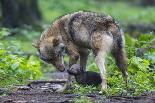 Germany, Bavaria, Gray wolf with her pupの写真素材 [FYI04340253]
