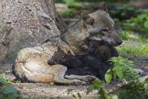 Germany, Bavaria, Gray wolf with her pupsの写真素材 [FYI04340254]