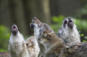 Germany, Bavaria, Howling gray wolfsの写真素材 [FYI04340255]