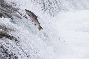 USA, Alaska, Katmai Nationalpark, King Salmon, Brooks Falls,の写真素材 [FYI04340294]