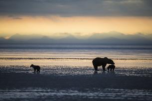 USA, Alaska, Lake Clark National Park and Preserve, Brown beの写真素材 [FYI04340300]