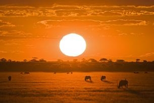 Africa, Botswana, Silhouette of gemsbok herd (Oryx gazella)の写真素材 [FYI04340332]