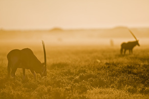 Africa, Botswana, Gemsbok herd (Oryx gazella)の写真素材 [FYI04340334]