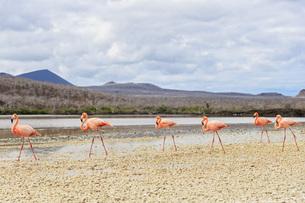 Ecuador, Galapagos Islands, Floreana, Punta Cormorant, six pの写真素材 [FYI04340381]