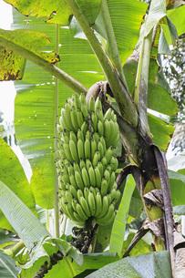 Ecuador, Amazonas River Region, banana plantの写真素材 [FYI04340403]