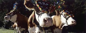 Austria, Salzburger Land, cattle with headdressの写真素材 [FYI04340472]