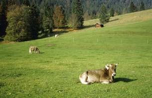 Cattle out at feed, alpine uplands Germanyの写真素材 [FYI04340489]