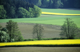 Germany, Bavaria, rape fields and forestの写真素材 [FYI04340616]