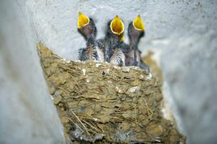 Swallows nestの写真素材 [FYI04340662]