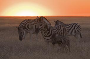 Africa, Zebras (Equus quagga burchelli) at sunsetの写真素材 [FYI04340787]