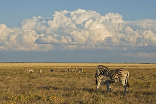 Africa, Young Burchell's zebra (Equus quagga burchelli) suckの写真素材 [FYI04340788]