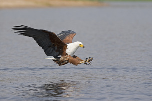 Africa, Botswana, African fish eagle (Haliaeetus vocifer) swの写真素材 [FYI04340822]