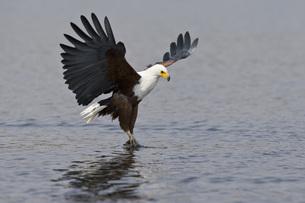 Africa, Botswana, African fish eagle (Haliaeetus vocifer) swの写真素材 [FYI04340823]