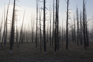 USA, Yellowstone Park, Dead trees in misty landscapeの写真素材 [FYI04340916]