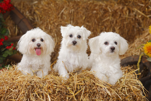 Three Maltese sitting at hayの写真素材 [FYI04341305]