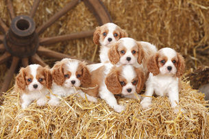 Six Cavalier King Charles spaniel puppies on a bale of strawの写真素材 [FYI04341358]
