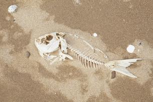 New Zealand, Coromandel Peninsula,  Snapper bones on sandy bの写真素材 [FYI04341391]