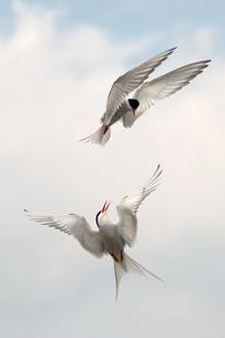 Germany, Schleswig-Holstein, Terns, sternidaeの写真素材 [FYI04341490]