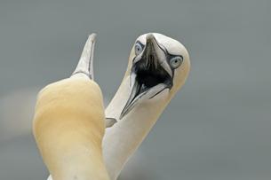 Germany, Schleswig-Holstein, Hegoland, northern gannetsの写真素材 [FYI04341495]