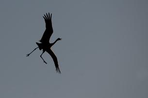Germany, Mecklenburg-Western Pomerania, Common crane, Grus gの写真素材 [FYI04341498]