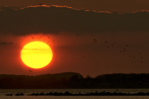Germany, Schleswig-Holstein, Sunset and flight of birdsの写真素材 [FYI04341510]