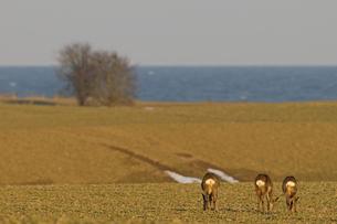 Germany, Schleswig-Holstein, Roe deer on meadow at the coastの写真素材 [FYI04341513]