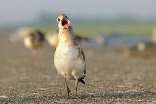 Germany, Schleswig-Holstein, Black-headed gull, Chroicocephaの写真素材 [FYI04341517]