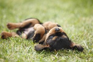 Cavalier King Charles spaniel puppy lying on back on a meadoの写真素材 [FYI04341588]