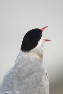 Germany, Schleswig-Holstein, screaming tern, Sternidae, backの写真素材 [FYI04341640]