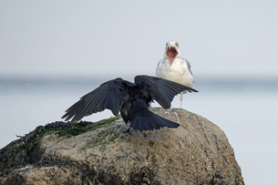 Germany, Schleswig-Holstein, Seagull and raven on rockの写真素材 [FYI04341719]