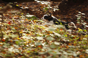 Running Cavalier King Charles Spaniel puppy at forestの写真素材 [FYI04341721]