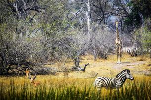 Botswana, Okavango Delta, antelopes, zebra and giraffeの写真素材 [FYI04341724]