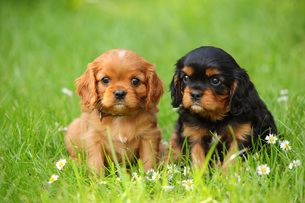 Two Cavalier King Charles Spaniel puppies sitting on a meadoの写真素材 [FYI04341968]