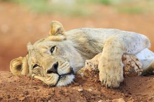 Namibia, Etosha National Park, lazy young lionの写真素材 [FYI04342015]