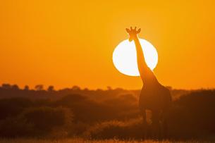 Botswana, Kalahari, Central Kalahari Game Reserve, giraffe aの写真素材 [FYI04342023]
