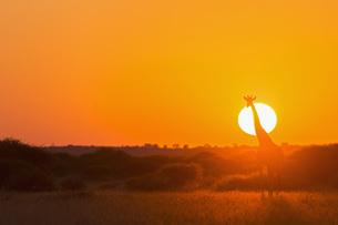 Botswana, Kalahari, Central Kalahari Game Reserve, giraffe aの写真素材 [FYI04342027]