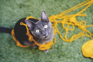 Russian blue tangled in yellow wool looking up to cameraの写真素材 [FYI04342082]