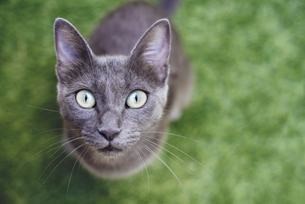 Russian blue looking up to cameraの写真素材 [FYI04342083]
