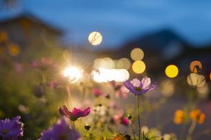Germany, Bavaria, Roadside flower bed backlit by car headligの写真素材 [FYI04342111]