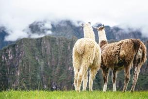 Peru, Machu Picchu region, Two Llamas looking at foggy mountの写真素材 [FYI04342122]