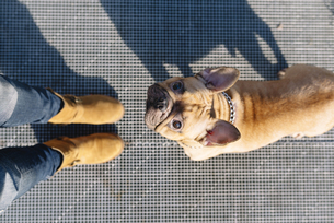 Portrait of French bulldog looking up to ownerの写真素材 [FYI04342360]