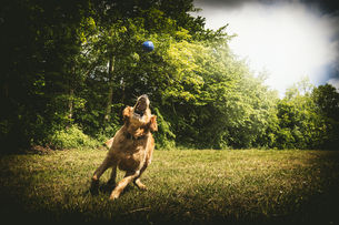 Young golden retriever snapping blue ball on meadowの写真素材 [FYI04342672]