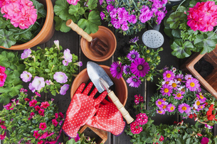 Gardening, different spring and summer flowers, gardening toの写真素材 [FYI04342726]