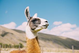 Peru, Huaraz, portrait of a llamaの写真素材 [FYI04342905]