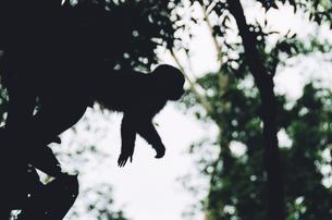 Peru, Tambopata, Capuchin money in treeの写真素材 [FYI04342989]