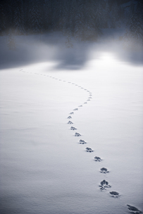 Tracks of wild animal in the snowの写真素材 [FYI04343028]