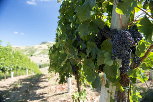 Italy, View of vineyardの写真素材 [FYI04343616]