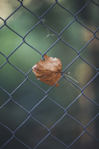 Autumn leaf at wire fenceの写真素材 [FYI04343882]